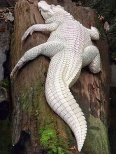 White Albino Crocodile from +Diply