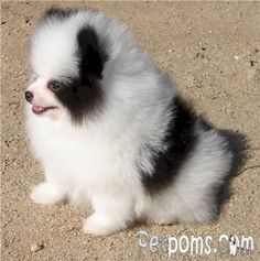 blk and wht pom