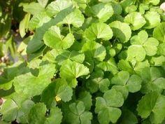 Gotu Kola - Benefits and Side Effects « Herbs List