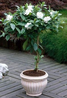 August Beauty Gardenia Tree- potted for the patio. This is absolutely gorgeous!
