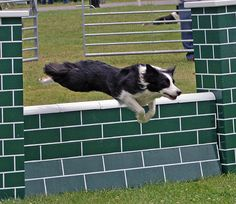 Dog Agility Class by David Merrett Agility Training For Dogs, Dog Agility, Pet Dogs, Dogs And Puppies, Pets, Doggies, Border Collie Puppies, Border Collies, Dog Kennel Designs
