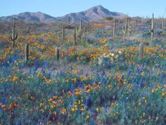 Image detail for -Springtime in the Sonoran desert near Tucson, AZ
