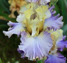 TB Iris germanica 'Sunday Concert' (Blyth, 2010)