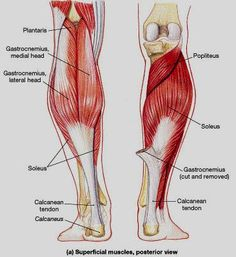 posterior lower leg muscles