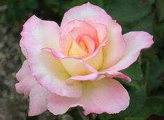 I'm in love with this rose | Flowers. Pretty, Beautiful, Lovely flowers Everyday.. It's amazing.