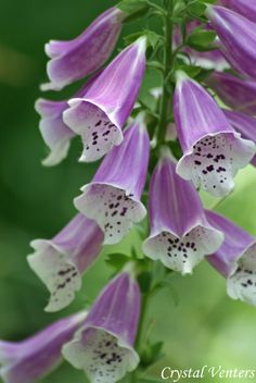 Foxgloves---novel writers often have characters who garden or at least look and meander among flowers and this is one flower I remember from one book or another