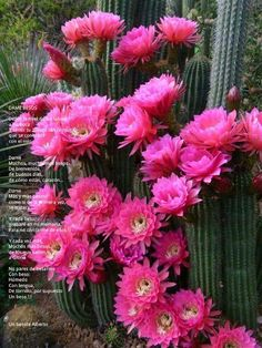 Idea Of Making Plant Pots At Home // Flower Pots From Cement Marbles // Home Decoration Ideas – Top Soop Cactus With Pink Flowers, Colorful Succulents, Cactus Flower, Cactus Plants, Flower Pots, Indoor Cactus, Flower Svg, Flower Clipart, Exotic Flowers