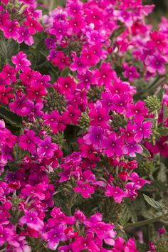 Endurascape™ Hot Pink Verbena  Verbena peruviana 'Balendopin'   A hot pink selection from the first reblooming verbena hardy to the low teens. Beats all verbenas for summer performance - it takes the heat better, and stays in flower longer! Lasting color, dense branching, and excellent powdery mildew resistance. An herbaceous perennial in mild winter regions; treat as an annual elsewhere. Full sun.  Spreading growth, up to 6 to 10 inches tall and 24 to 36 in. wide.