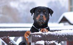 rottweiler_dog_snow_collar_eyes