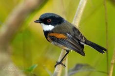 6181. Cape Batis (Batis capensis) | southern and eastern South Africa, Zimbabwe