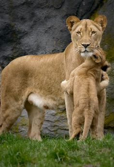 Lioness (with beautiful eyes) and cub