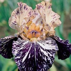 Gnu Flash Iris June 2013 $9 ea