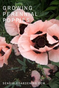 Growing perennial poppies with Sensible Gardening. How to grow these beautiful poppies. Oriental poppy growing tips.