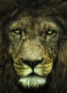 The lion (Panthera leo) is one of the four big cats in the genus Panthera and a member of the family Felidae. Nature Animals, Animals And Pets, Cute Animals, Wild Animals, Beautiful Cats, Animals Beautiful, Simply Beautiful, Lion Tigre, Grand Chat