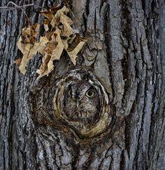Amazing Examples of Owl Camouflage