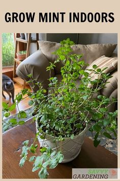 Mint is surprisingly easy to grow indoors, even through the winter. Discover 3 methods for indoor mint growing and enjoy your own mint harvest for herbal teas and other recipes. Mint makes a great edible houseplant! #herbs #gardening #houseplants Herb Gardening, Container Gardening, Easy Herbs To Grow, Growing Mint, Growing Herbs Indoors, Mint Plants, Cold Frame, Herbal Teas, Mother Plant