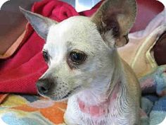 Los Angeles, CA - Chihuahua. Meet A1426117 a Dog for Adoption.