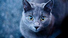 Russian blue cat (Русская голубая) http://dai.ly/x3l5ay1