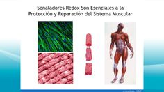 Muscle, Muscular System, Muscles