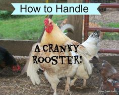 How to handle a cranky rooster will be a concern of yours once you get spurred in the leg! An aggressive rooster is just keeping the hens safe, What to do?