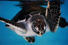 Have you ever seen the baby turtles at the Maui aquarium? #hawaii  www.menehunemaps.com
