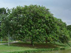 Sombreiro – Clitoria fairchildiana – Árvore de maior porte e florescimento ornamental. Ideal para calçadas amplas, sem fiação.