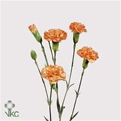 Eilat are an orange variety of multi-headed Spray Carnations. 60cm tall & wholesaled 10 stems per wrap. (Also called Dianthus Spray).