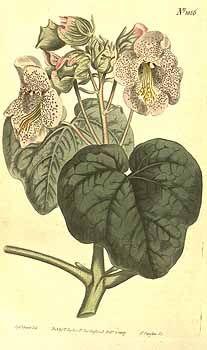 1962 Proboscidea louisianica Thell. [as Martynia proboscidea Gloxin]  / Curtis's Botanical Magazine, vol. 26: t. 1056 (1807) [S.T. Edwards]