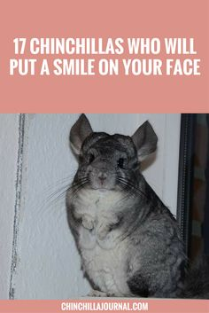 These Chinchillas Are Having The Time Of Their Lives Chinchillas - 29 adorable animals that will leave you smiling for the rest of the day