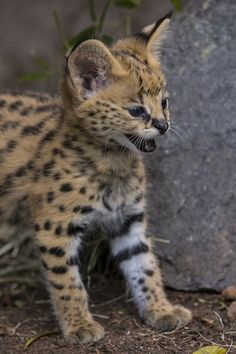 African Serval Kitten Born at San Diego Zoo Cats Bus, Cats And Kittens, Big Cats, Serval Kitten, Caracal, Beautiful Cats, Animals Beautiful, Big Cat Species, Grand Chat