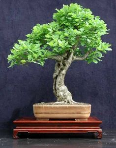 he word bonsai is most closely associated by most with the growing of miniature trees, and although this is somewhat accurate, there is a lot more to it than that. A bonsai is not a genetically overshadowed plant Small Trees, Miniature Trees, Garden Shrubs, Ikebana, Bonsai Tree, Japanese Garden, Plants, Saplings, Oak Tree