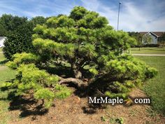Possible Combinations, Zone 5, Japanese Maple, Pine Tree, Drought Tolerant, Season Colors, Shades Of Green, Evergreen, Google Images