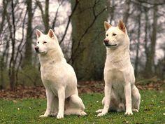 KISHU DOG