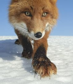 "beautiful-wildlife: "" The Hunter by © Sergey Gorshkov """