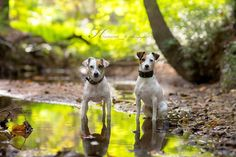 Jack Russell Terrier Chad and Isis #dog #photography #jackrussell