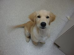 Marty is a 12 week old Golden Retreiver