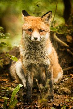Le cousin de Mr Fox