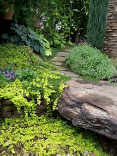 Yellow creeping jenny drapes over a rock path. Heavenly.