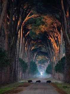 Tunnel of trees Natural Park Migliarino San Rossore, Pisa, Italy. Photo by – All Pictures Landscape Photography, Nature Photography, Photography Wallpapers, Beautiful Places, Beautiful Pictures, Tree Tunnel, Image Nature, Natural Park, Jolie Photo