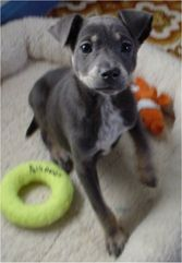 Labrador Retriever And Chihuahua Mix Puppy Dog Pictures