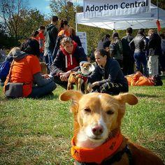 I made it! Now it's nap time! #pawsmuttstrut  #dogsofinstagram #dogsoffishtown #dogsofphilly #rescuedogsofinstagram #adoptnotshop #adoptdontshop #philly #philadelphia #dog #dogs #dogstagram #mutt #muttsofinstagram