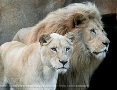 Lions are AMAZING!!