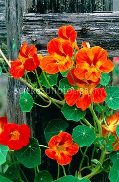 Nasturtiums. Orange nasturtium (Tropaeolum majus) - leaves and blossoms edible in salads.