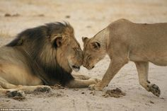 White Wolf : Amazing Images Show Majestic Cecil The Lion With His Family Before Death