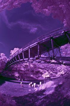 Koma River Bridge in Purple
