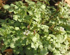 10 erbe e piante spontanee commestibili da raccogliere in inverno ... - Erbe Spontanee In Cucina