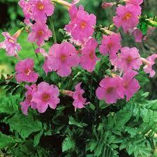 INCARVILLEA delavayi - Havegloxinia, farve: mørk rosa, lysforhold: sol, højde: 60 cm, blomstring: juni - juli.