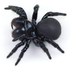 Female Mouse Spider, Missulena sp