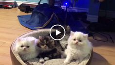 If you're looking for the ultimate mood booster you've come to the right place! Watch as these cute little Persian kittens tilt their heads in the most adorable way.