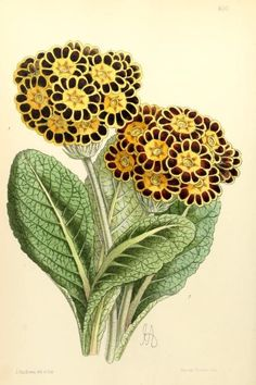 Polyanthus (Golden Crown, Bracelet). Illustration taken from 'The Floral Magazine' by The Rev H. Honywood Dombrain. Plates by James Andrews. Published 1868 by L. Reeve & Co. New York Botanical Garden, LuEsther T. Mertz Library.